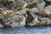 picture of harem  - A colony or harem of sea lions on the rocks in Yaquina Bay in Newport Oregon - JPG