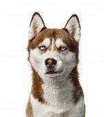 pic of siberian husky  - Siberian Husky  - JPG
