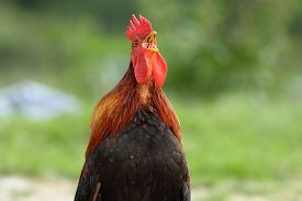 image of roosters  - portrait of a rooster singing in the morning over green background - JPG