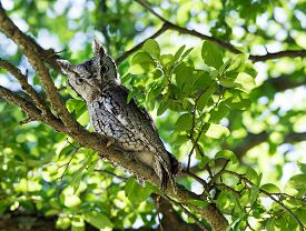 pic of screech-owl  - Eastern Screech Owl  - JPG