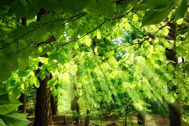 image of surrealism  - Rays of sunlight falling through the fresh lush leaves of beech trees in a green forest creating a surreal yet pleasing atmosphere - JPG