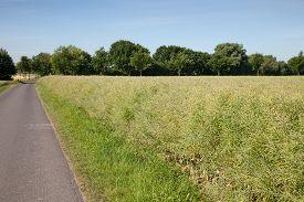 foto of rape-field  - Germany North Rhine - JPG