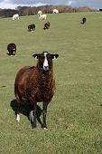 A Brown Zwartbles Rare Breed Sheep