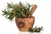 Yew Herb Leaves