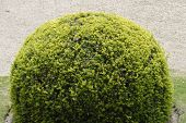 Topiary Yew Bush In English Garden