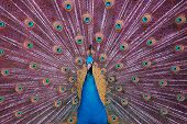 Peacockf An