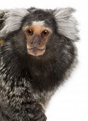 picture of marmosets  - Common Marmoset Callithrix jacchus 2 years old in front of white background - JPG