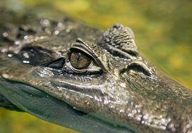 stock photo of crocodilian  - Close up of Crocodile Eye - JPG