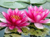 stock photo of water lilies  - Beautiful water lily - JPG