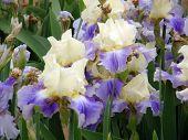 pic of beautiful flower  - Beautiful flower of an iris - JPG