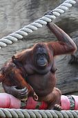 Large female animal orang-outang sits on log and hold of baby on hands