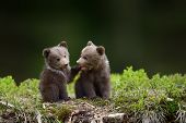 Two Young Brown Bear Cub In The Fores poster