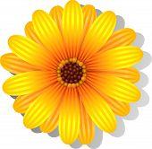Beautiful yellow Gerber Daisy