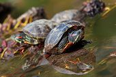 Red Eared Turtles in Water