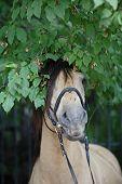 Vyatskaja Pferderassen in russischer Wald