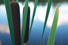 stock photo of bull rushes  - close up of a cattail or (bull) rush plant wetland / aquatic plant with the lake in the background shallow dof focus on front plant