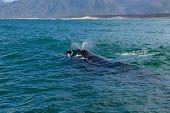 Southern Right Whale Surfacing To Take A Breath In The Indian Ocean Near Hermanus, South Africa poster
