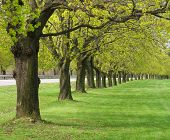 Row of maple trees in spring