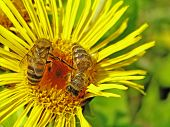 Bee On An Elecampane