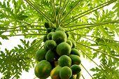 Papay Baum