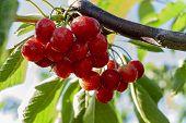 Big Red Cherries With Leaves And Stalks. Good Harvest Of Juicy Ripe Cherries. Cluster Of Ripe Cherri poster