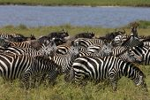 Zebra And Wildebeest During Migration