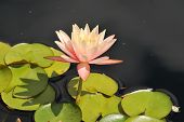 Pink Lotus Adrift