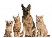 stock photo of cat dog  - Group of dogs and cats sitting in front of white background - JPG
