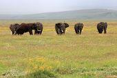 Elephant Bull'S In Ngorongoro Crater Tanzania