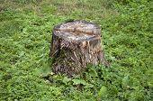 Old Stump In Grass