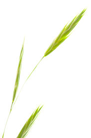image of fescue  - Graceful Stem of Idaho Fescue Festuca idahoensis isolated on White - JPG