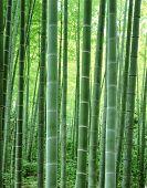 Bamboe Tree