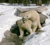 picture of mating bears  - taken in cochrane ont the male was trying to mate with the female - JPG