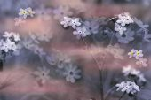 Forget-Me-Nots In Soft Focus poster