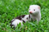 picture of mink  - European Mink is exotic pet - JPG