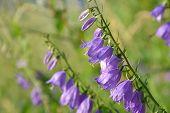 Campanula Rapunculoides-  Creeping Bellflower
