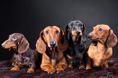 Four Dachshund Dogs