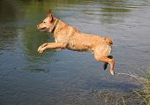a labrador retriever jumping in a canal
