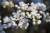 Spring Flowering Bradford Pear Tree Blossoms