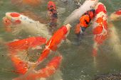 Beautiful Koi Fish Swimming