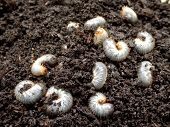 stock photo of larva  - White grubs burrowing into the soil - JPG