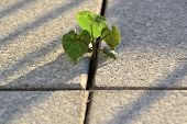picture of slab  - fight for survival of a small plant between concrete slabs on a walkway