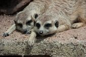 picture of meerkats  - Meerkat animal is active - JPG