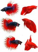 stock photo of siamese fighting fish  - Siamese fighting fish  - JPG