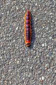 Caterpillar - Goat Moth