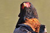 Bateleur Eagle - Wild Bird Background from Africa - Raptor of Repute