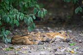 stock photo of razorback  - Resting young wild pigs - JPG