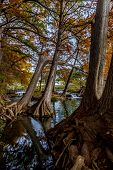 Gigantic Cypress Trees with Stunning Fall Color Lining a Crystal Clear Texas Hill Country Stream.