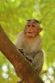 Indian Rhesus Monkey(macaque) Also Called Macaca Mulatta On A Tr