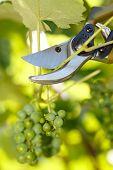 Pruner Cutting Grape Tree